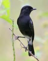 Burung decu yang kian di tinggal oleh penggemarnya