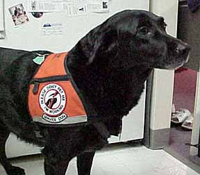 Hearing Dog Shadow working in her ID Cape assistance dog vest.