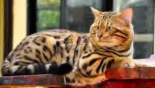 Kucing Ras Bengal
