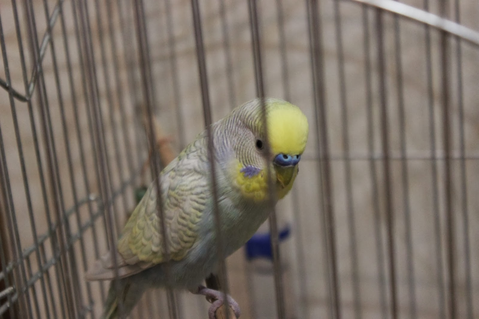 волнистики, волнистый попугайчик, домашние птицы, попугай, говорящий попугай