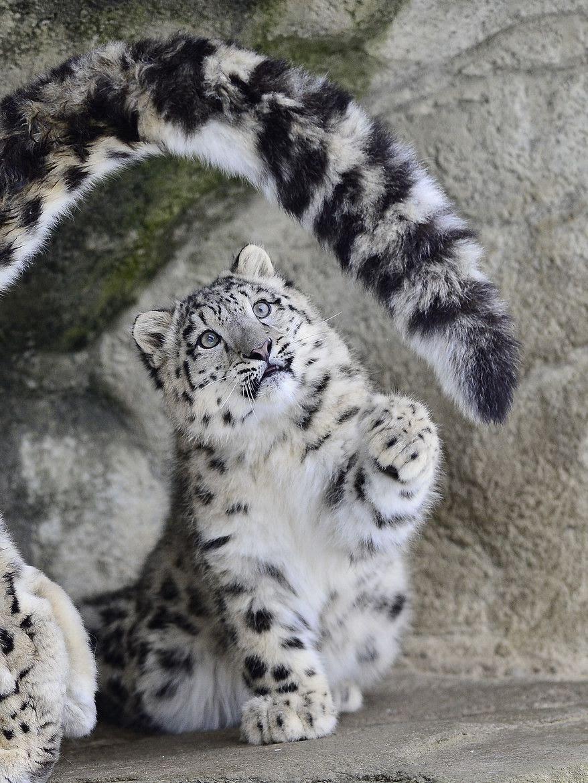 tigrinho concentrado