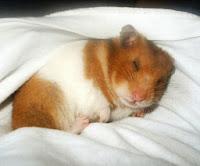 Hamster que adora dormir