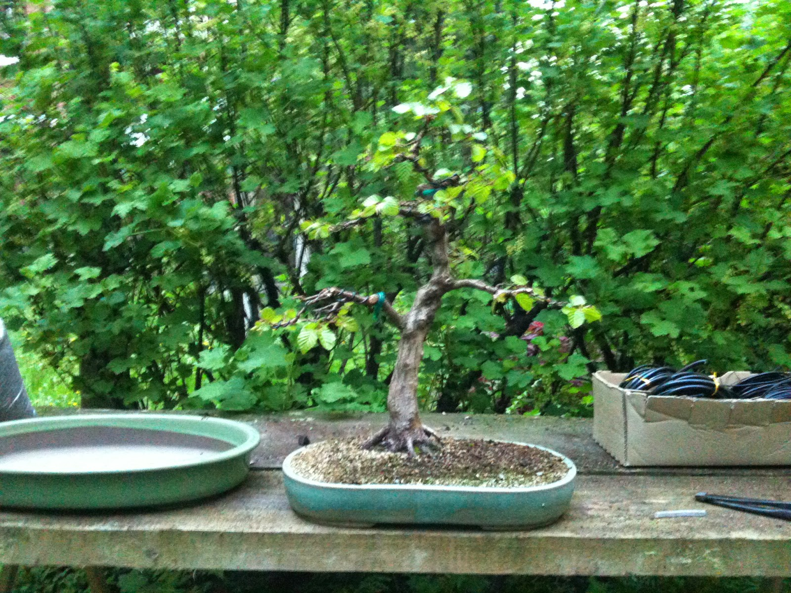 bonsai umgestaltung einer hainbuche carpinus turczaninowii. Black Bedroom Furniture Sets. Home Design Ideas