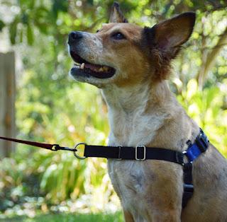 improper use of retractable leash wth no-pull harness