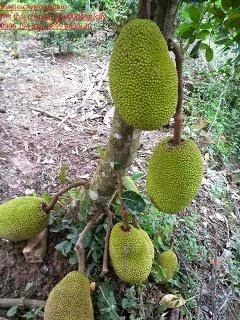 Mit Thái Changai
