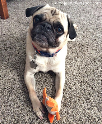 Curious pug with small dog toy