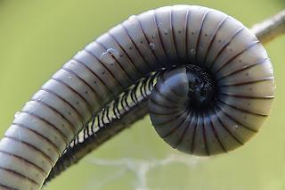 Para ampliar  Ommatoiulus rutilans (Milpiés, cochinilla) hacer clic