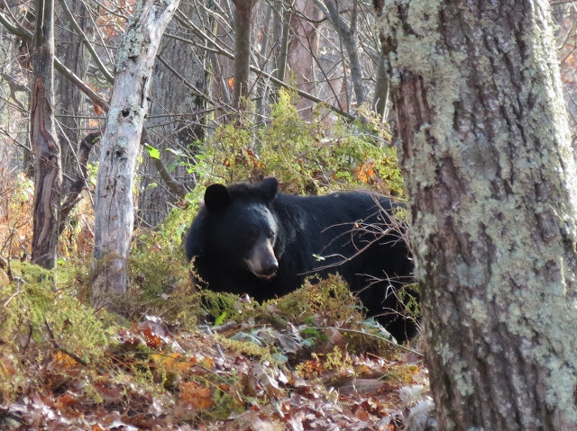 The Day 2 hike post has several pictures of this bear
