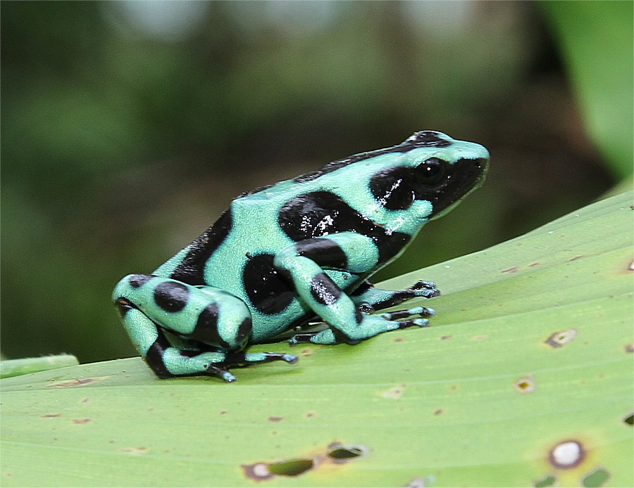 Poison dart frog bright green