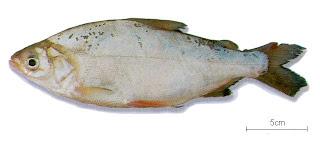 yahuarachi Potamorhina altamazonica