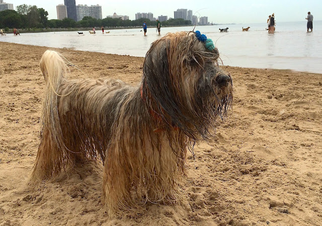 Rocco Havanese Montrose Dog Beach Chicago To Dog With Love