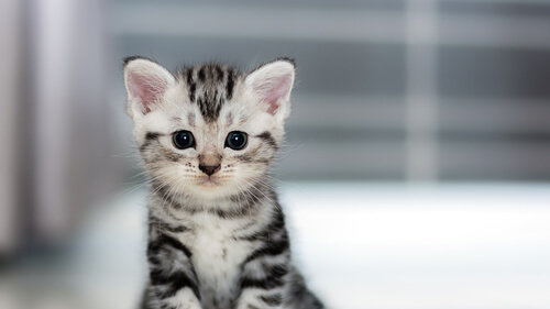 Hay que proteger a estos gatos