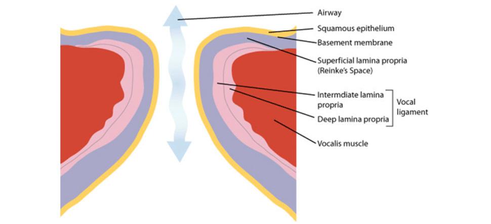 Vocal fold anatomy