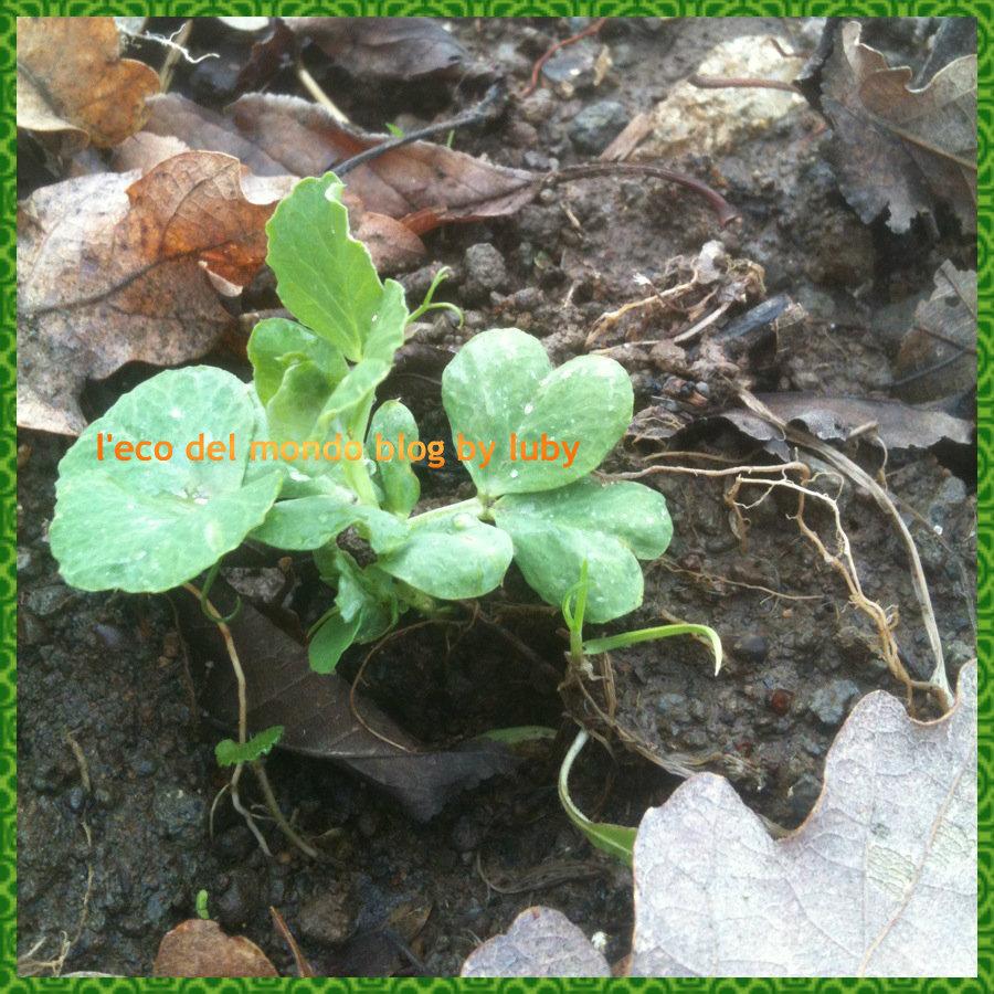 Cosa piantare a gennaio sul balcone e nell 39 orto piselli for Piantare piselli