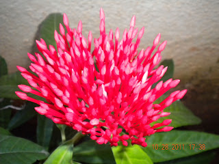 Bud of the red ixora flower