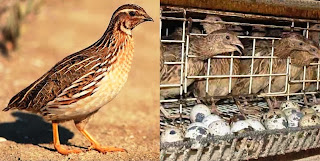 Quail Farming Business