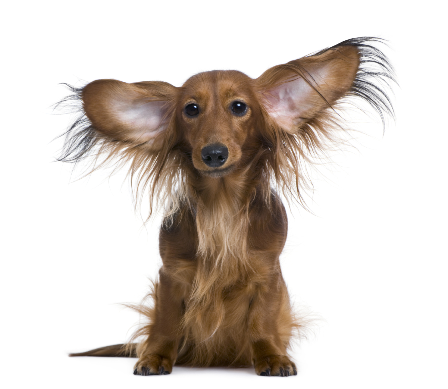Ear Infections Symptoms in Pets
