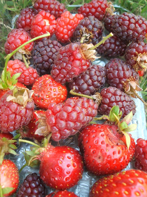 allotment harvest of tayberries and strawberries