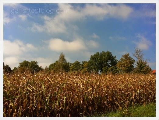 Maisfeld im Oktober