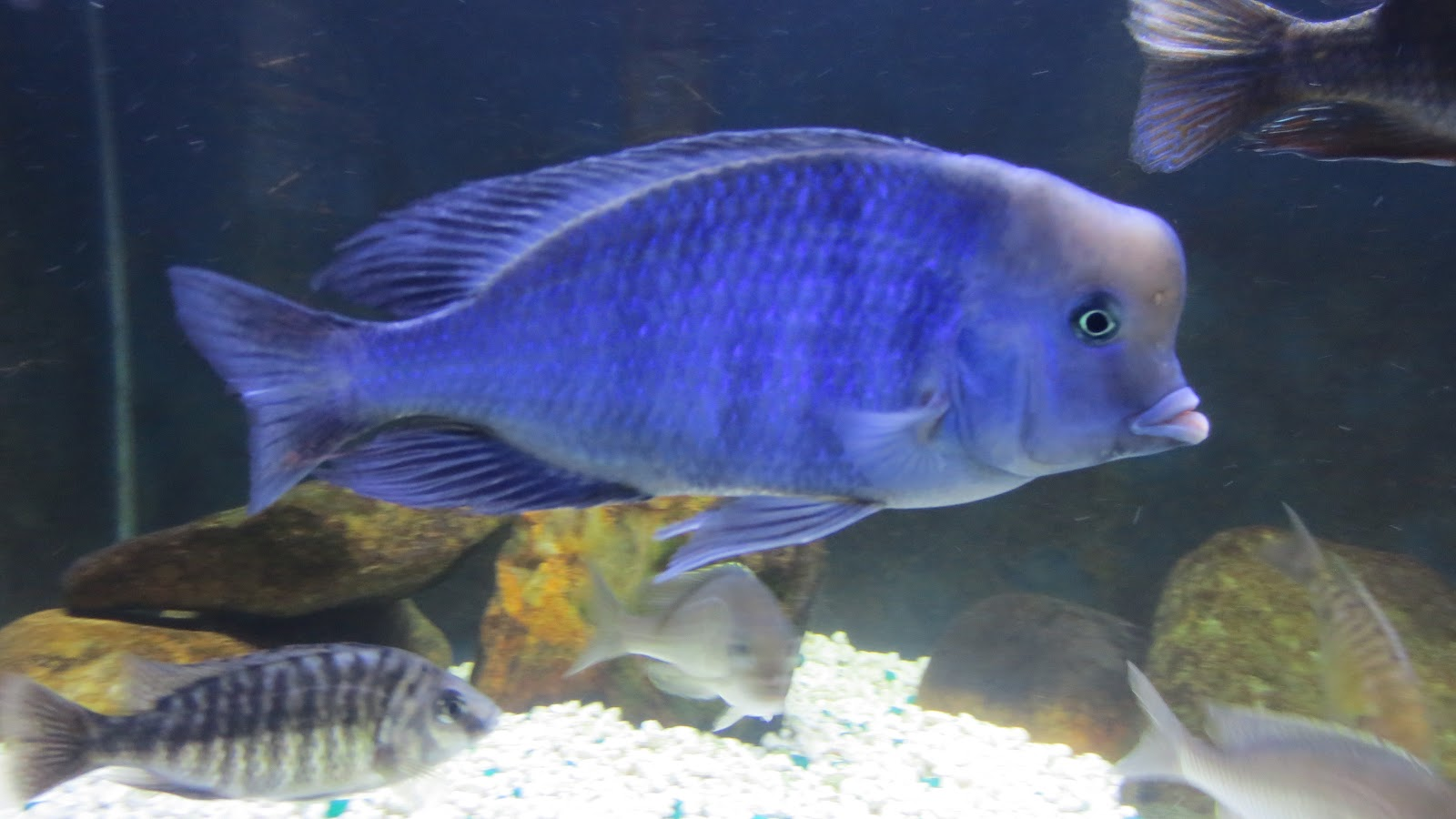 mal/tang fish: Cyrtocara moorii Blue Dolphin, 11-23-12