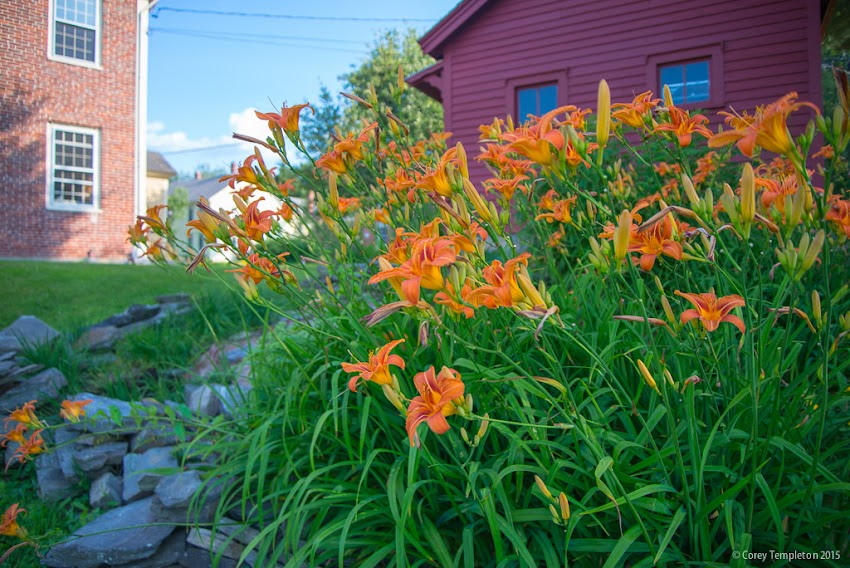 Portland, Maine Lillies in bloom in the Stroudwater neighborhood. July 2015 photo by Corey Templeton.