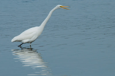 Great Egret, White Rock Lake