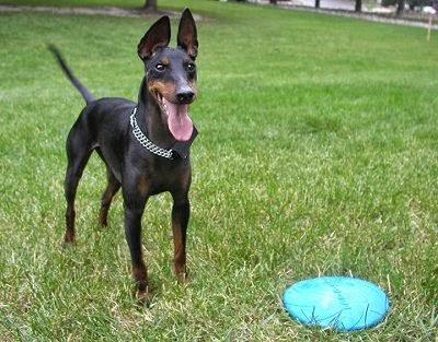 El Manchester Terrier