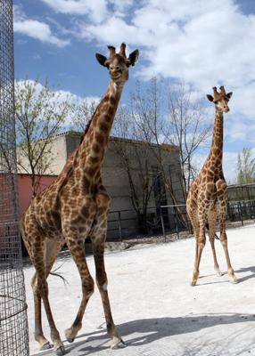 Фото Укринформ: жирафы в Крыму