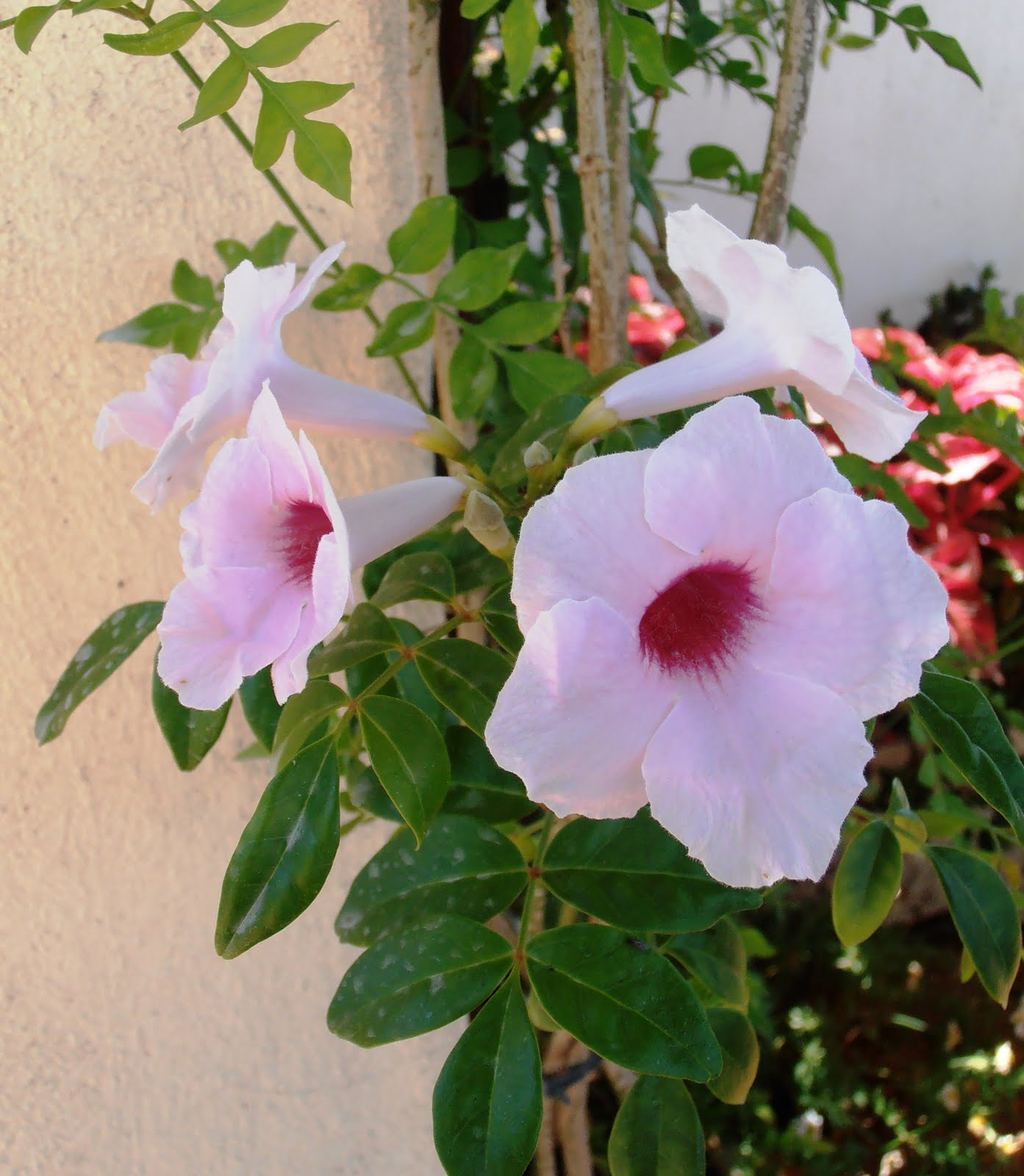 En macetas: Bignonia Blanca