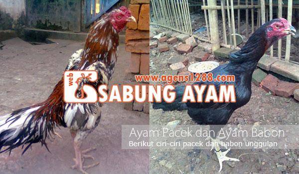 Istilah Ayam Pacek dan Ayam Babon, Dalam Ayam Aduan