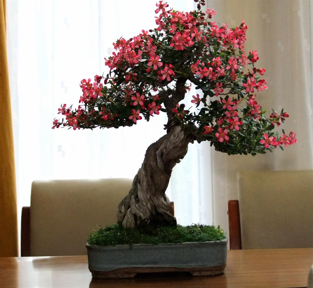 Wirral Bonsai Society June Meeting Members Trees