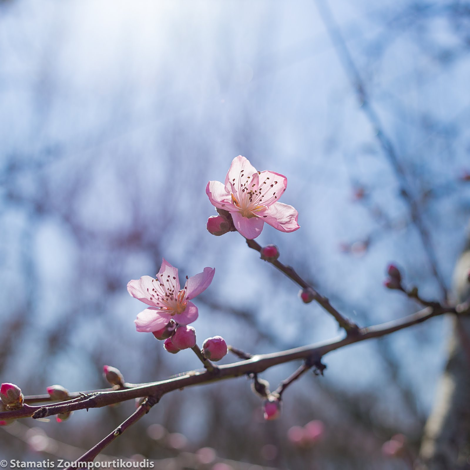 20180310 Peach tree flower