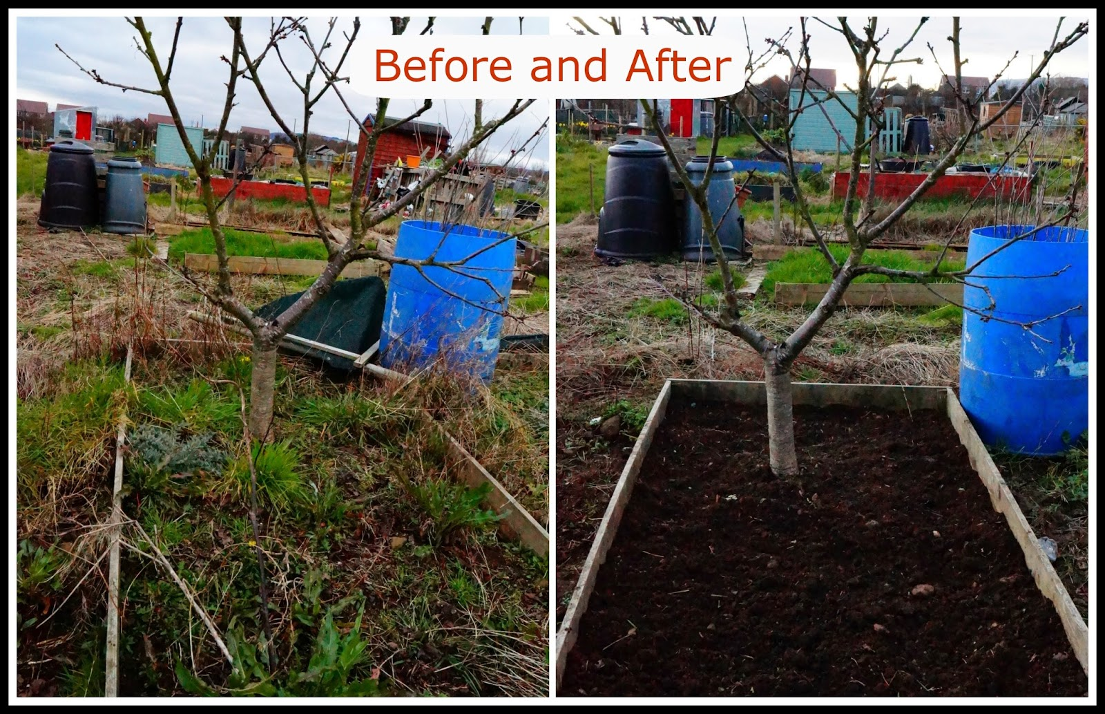cherry tree bed, before and after- 'growourown.blogspot.com' ~ allotment blog