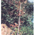 "Therapeutic Uses of Embelia  Ribes,""Baberana"",""Wawrung"",""Viavidang"",""Bai bidang Krimighna"",""Chitramandula"",""Valle"",""Embelia"",Herbal Medicinal Plant,Herbal Medicos"