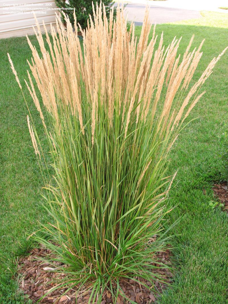 Reed plants benefits for health for Grass looking bushes