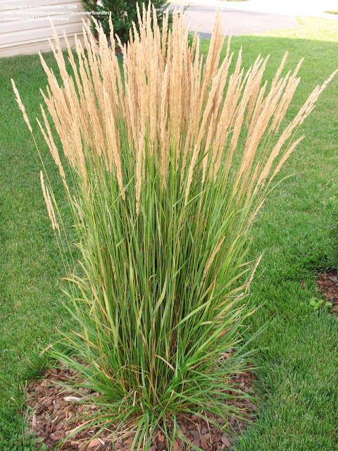 Reed Plants Benefits for Health