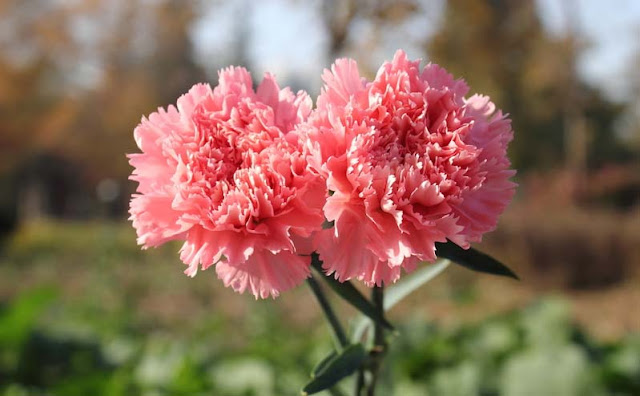 Carnation Flowers Pictures