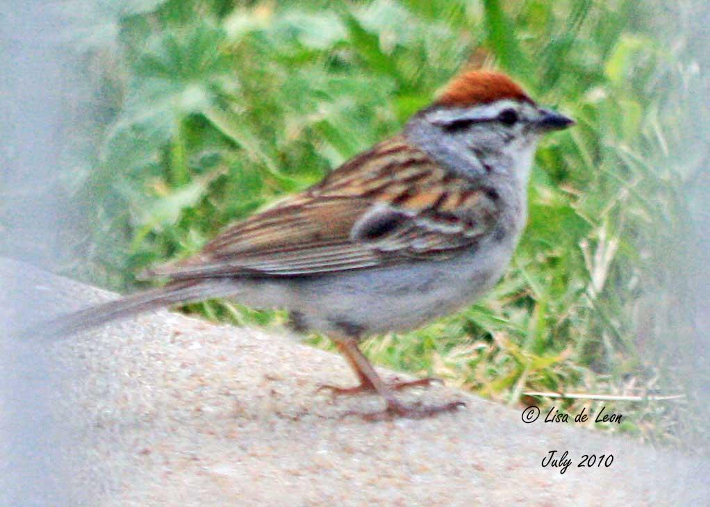 Orange Breasted Sparrow Birding with Li...