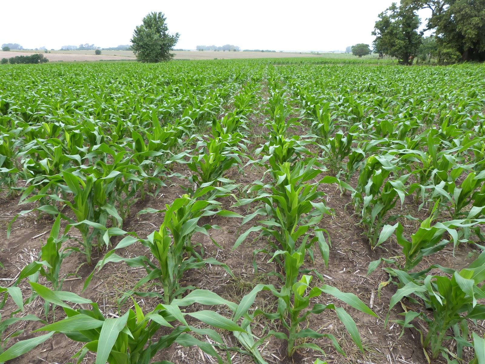 Aprende campo ma z a 56 d as desde siembra for Sembrar maiz y frijol juntos