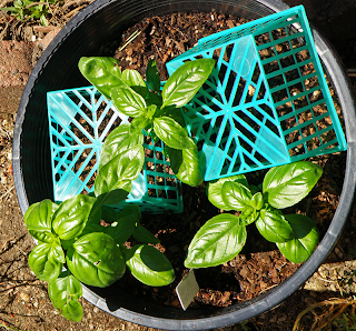Pot of Basil with Strawberry Baskets