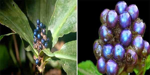 Pollia Condensata Buah Bersinar Terang Di Dunia