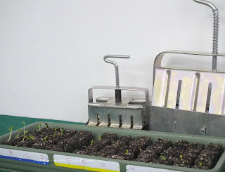 Pelargonium seedlings germinated in soil  blocks made with special soil bloks molds