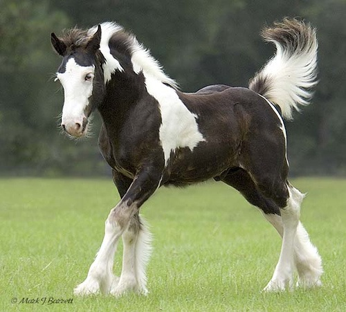 paint clydesdale - photo #7