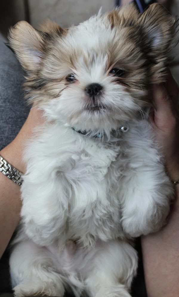 shih tzu puppy. I repinned this last night and Ive had 38 people repin it onto their boards. So adorable. Our Sadie Shorkie puppy has the Shih tzu face. She is a cutie pie and has won all of our hearts.