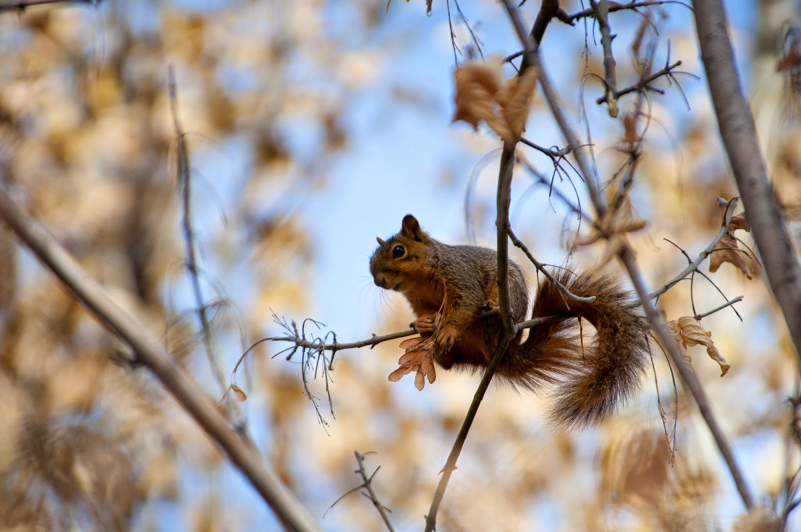 Red Squirrel, Chatfield State Park
