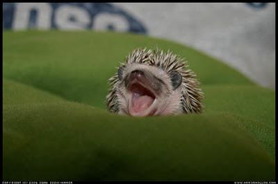 foto filhote de porco-espinho