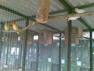 galuh lovebird pemilihan kandang untuk burung lovebird
