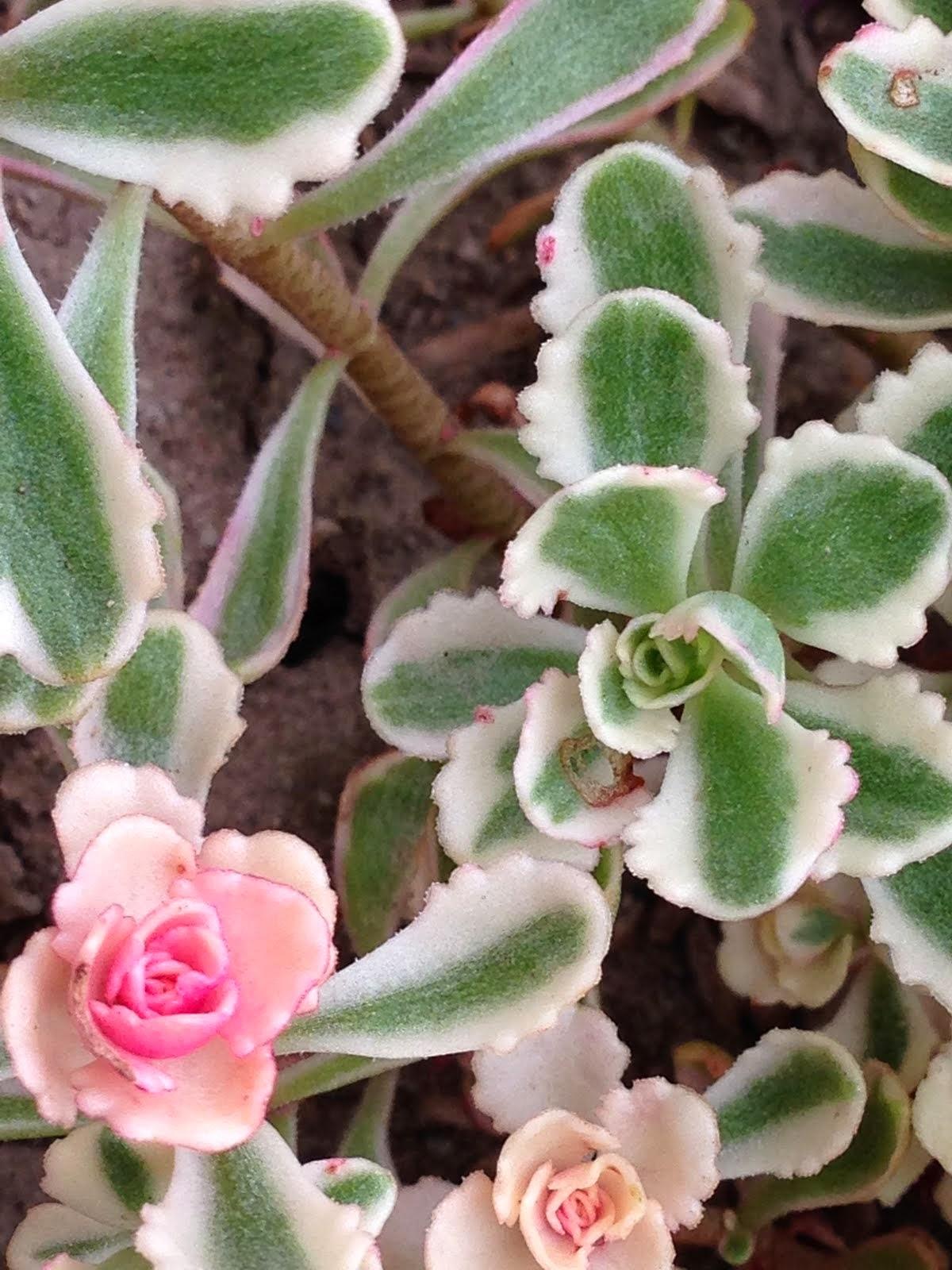 Tricolor sedum