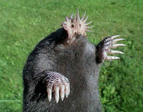 The star-nosed mole has an extra pair of hands... on his nose! Star-nosed-mole-1