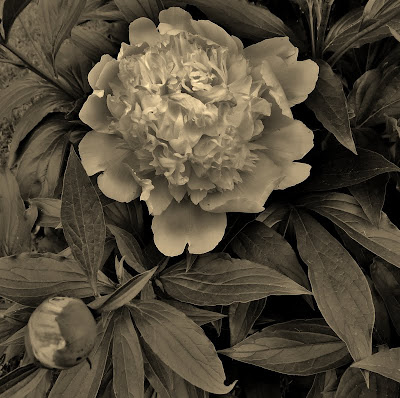 A Short Lived Peony